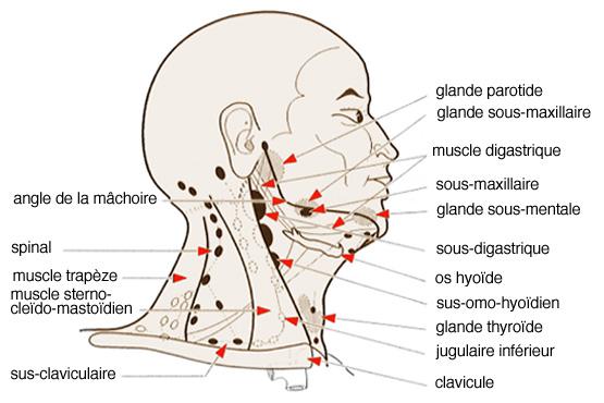 les ganglions Lymphatiques Cervicaux