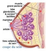 L'anatomie du sein (lobules et canaux)