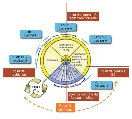 durée de Cycle de Chimiothérapie