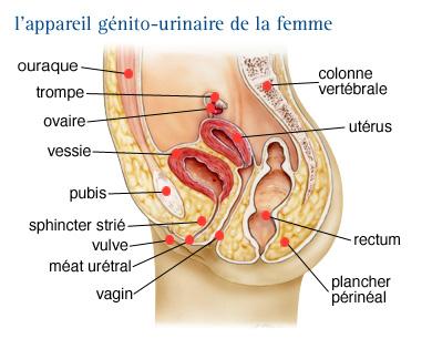Schema systeme urinaire