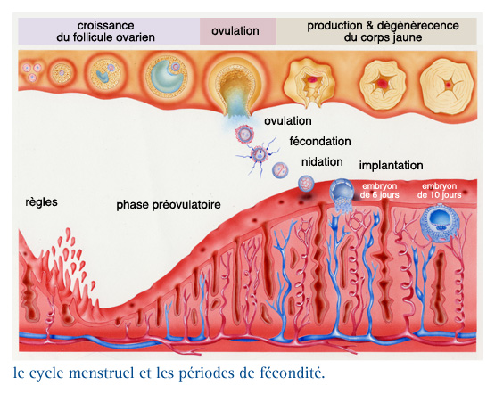 ovulation date règles