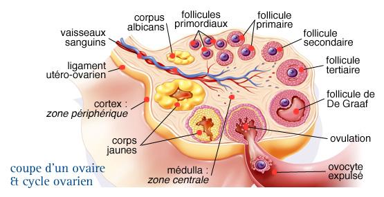 vascularisation ovaire